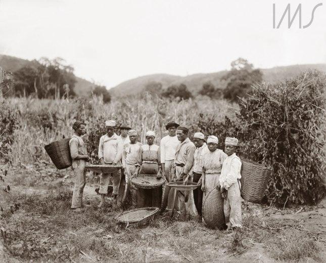 Marc Ferrez. Escravos na colheita de café, c. 1882. Vale do Paraíba, RJ.